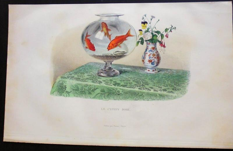 Engraving Buffon XIX Eme Chinese Japanese Aquarium Fish